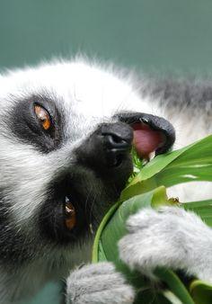 Ring-tailed lemur _ Lemur à anneau Nature Animals, Animals And Pets, Baby Animals, Cute Animals, Primates, Mammals, Beautiful Creatures, Animals Beautiful, Regard Animal