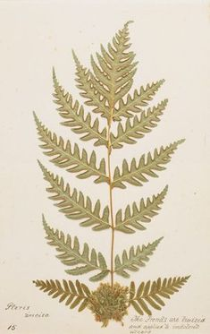 King Tawhiao's fern collection University Of Western Ontario, Ferns, New Zealand, Objects, Appetizers, Healing, Museum, Collections, King