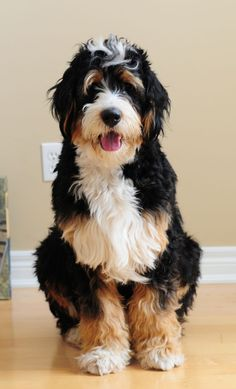 Bernedoodle!! (bernese Mountain Dog and Poodle)