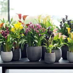 El Lirio (o Calla) es la planta de interior del mes de mayo. También se puede conocer esta planta de por el nombre Zantedeschia o el Lirio de Agua, es una belleza clásica con raíces sudafricanas