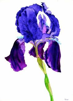 WATERCOLOR PAINTINGS OF IRIS FLOWERS - Yahoo Image Search Results