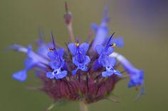 Salvia Hispanica, Dandelion, Flowers, Plants, Chia Seeds, Salvia, Dandelions, Plant, Taraxacum Officinale