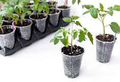 How to Transplant Tomato Seedlings into Larger Pots (Plus the Best Soil to Use) | FaithFoodFamilyFun