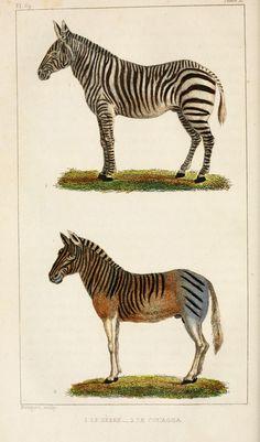 img/dessins-gravures mammiferes Buffon/dessin-gravure mammifere buffon - zebre.jpg