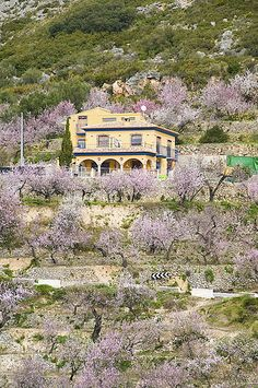 house surrounded by almond trees in bloom, Tarbena Spain