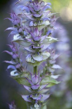 Salvia sclarea var. turkestanica http://www.chilternseeds.co.uk/item_1140R_salvia_sclarea_var_turkestanica