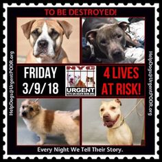TO BE DESTROYED 03/09/18 - - Info   View tonight's list here: https://newhope.shelterbuddy.com/Animal/List and  https://www.facebook.com/ACC.OfficialAtRiskAnimals/    Further instructions, and a list of rescues can be found here: http://information.urgentpodr.org/   or here : http:...-  Click for info & Current Status: http://nycdogs.urgentpodr.org/to-be-destroyed-4915/
