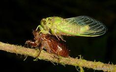 https://flic.kr/p/Jcv9aC   Freshly molted Cicada   from Ecuador: www.flickr.com/andreaskay/albums