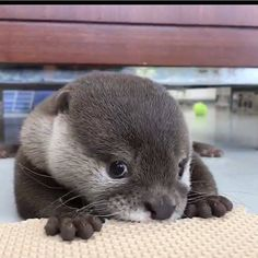Otters are so cute pets. This is a collection of cute otters videos and funny hedgehog videos. Check out this cute and funny hedgehog videos compilation. Super Cute Animals, Cute Little Animals, Cute Funny Animals, Cute Cats, Big Cats, Otters Cute, Baby Otters, Otters Funny, Baby Sloth