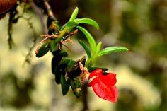 Fernandezia ionanthera