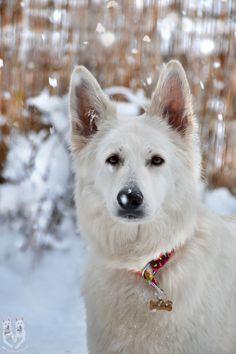 "Olina Fliegeland ""Bela""  white swiss shepherd dog http://vomweissenunterberg.eu"