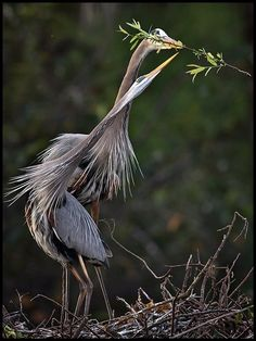 'She gently took the branch from him': Great Blue Heron by John Isaac. Thanks to @Christine Almeida #Photography #John_Isaac by oceanne gypsy