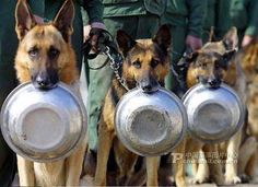 Military dogs waiting in the chow line. The troops are hungry, sir!