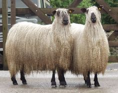 The Teeswater is a breed of sheep from Teesdale, England. It is a longwool breed of sheep, which produces a generally large-diameter fibre. The breed is raised primarily for meat.
