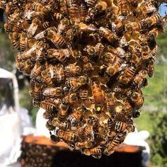 Honey, Herbs, Beekeeping, Bees, Herb, Medicinal Plants