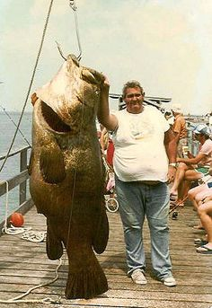 450 pound goliath grouper caught by Buddy Jenks at the Big Indian Rocks Fishing Pier, Florida (1976). . .no way! that's huge