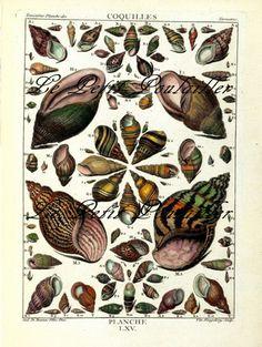 Land Snail Shells 1990 French Conchology Lithograph