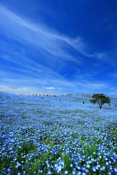 """Baby blue-eyes""(Nemophila)- Hitachi Seaside Park in Hitachinaka, Ibaraki, Japan."