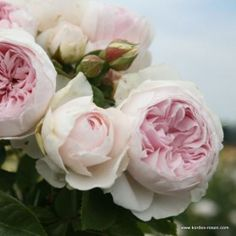 KORDES Rosen Herzogin Christiana ® - New Roses 2013/2014 - Special series The most beautiful roses of the world