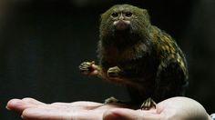 """""""Nach dem traditionellen Mondkalender begrüssen die Chinesen das Jahr des Affen. Der Volksmund sagt, er bringe Bewegung. Wohl nicht nur aus diesem Grund ist derzeit dieses Zwergseidenäffchen im Hongkonger Zoo ein beliebtes Fotosujet (2 Februar). (Bild: Bobby Yip / Reuters)"""""""