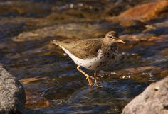 Spotted Sandpiper photographed at Chambers Bay WA.