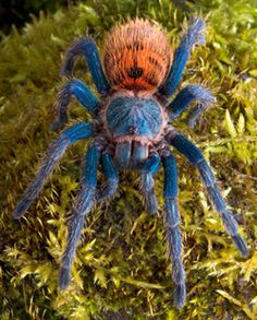 Greenbottle Blue Tarantula - Chromatopelma cyaneopubescens - This tarantula is of the family Theraphosidae and has some of the most dramatic coloring of any species of spider. They are found in desert areas of northern Venezuela, in Paraguana
