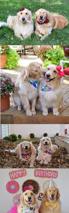 Blind Golden Retriever Is Happier Than Ever Thanks To His Best Pup Friend #dog #dogs #pets #goldenretriever