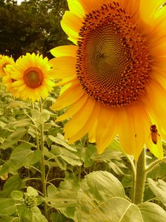 nice, bright sunflowers.  They make me feel like smiling.
