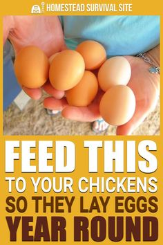 The foods you feed to your chickens have a huge effect on their overall health and the quality of their eggs in both taste and durability. Eggs The foods you feed to your chickens