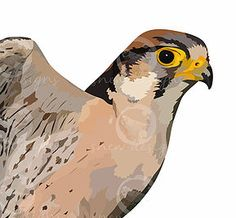 Lanner Falcon snewdesigns