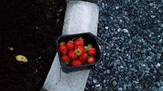 Selvdyrka jordbær