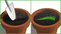 A Aloe Vera conhecida popularmente como Babosa, é uma planta com excelentes propriedades curativas, possui uma substancia que é utilizada normalmente em produtos de estética, a mesma possui poderosas substanciasque tem como principais funçoes regenerativas e curativas para a pele. Ter uma de planta babosa em casa é