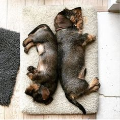.wire-haired dachshunds.