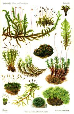 Moose Moss Flora im Winterkleide (1908) | wallacegardens #Infographic #Moss
