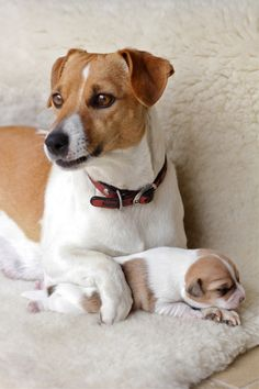 adorable jack russell terriers
