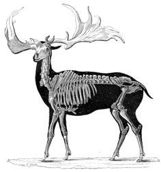 "Skeletal reconstruction of Megaloceros (Irish Deer). From Popular Geology from ""The Museum of Science and Art"" by Dionysius Lardner. Irish Elk, Elk Skull, Deer Species, Skeleton Anatomy, Anatomy For Artists, Extinct Animals, Creature Concept, Animal Drawings, Animal Kingdom"