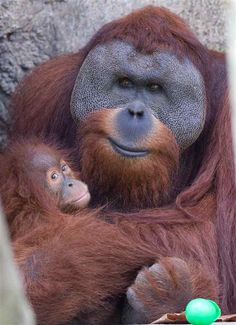 A male orangutan with his baby