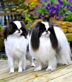 Japanese Chin on Pinterest | Spaniels, Dog Art and Dogs