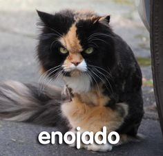 How are you today, human?/ ¿Cómo estás hoy, humano?<br /><br />Reblog with 'Estoy __________', and fill the blank with the cat of your choice!<br /><br />~ Tora