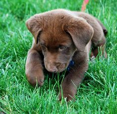 Lab Australian Sheppard Mix Puppy, my two favorite dogs