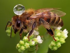 Bee with water droplet by Agus Sudarmanto, Qatar