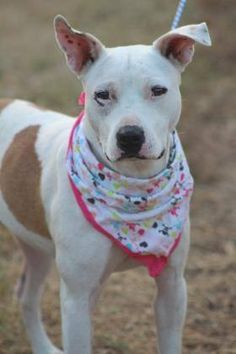 ADOPTED>NAME: Starla  ANIMAL ID: 34006346  BREED: terrier mix  SEX: female(spayed)  EST. AGE: 2 yr  Est Weight: 35 lbs  Health: heartworm neg  Temperament: dog friendly, people friendly  ADDITIONAL INFO: RESCUE PULL FEE: $35  Intake date: 11/16  Available: Now
