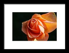rose, orange, flower, blossom, nature, bokeh, macro, michiale schneider photography