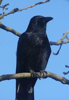 Crow, Photography