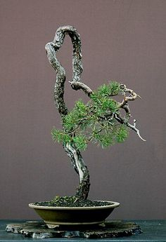 ●♣I simply love this pretty #bonsai tree!♦♣ #BonsaiInspiration