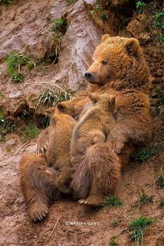 Momma looks as tired as her cubs.