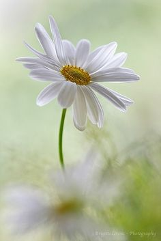 The Daisy-One of my favorite flowers