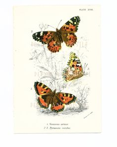 Small Tortoiseshell, Butterflies Picture, 1890s, Housewares,  Vintage Butterflies, Antique Art on Etsy, £20.00