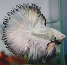 Summary: Betta Fish also known as Siamese fighting fish; Mekong basin in Southeast Asia is the home of Betta Fish and is considered to be one of the best aquarium fishes. Pretty Fish, Beautiful Fish, Animals Beautiful, Betta Fish Types, Betta Fish Care, Betta Aquarium, Freshwater Aquarium Fish, Colorful Fish, Tropical Fish