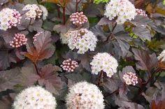 Physocarpus opulifolius 'Seward' Summer Wine® Ninebark